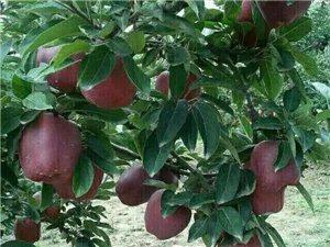 家鄉特產蘋果