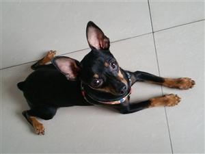 8个月大小鹿犬公狗出售