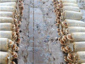 珍贵食用菌灵芝在瓜州试种成功,现已大量采摘上市