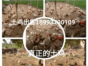土鸡出售绿色食品