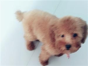 本人泰迪犬一只五个多月。