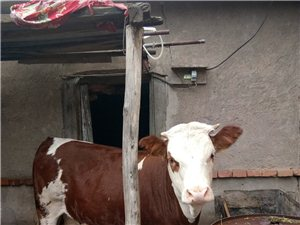 嘎嘎漂亮的小牛出售了