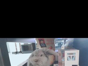 垂耳兔出售(包括兔兔的生活用品)