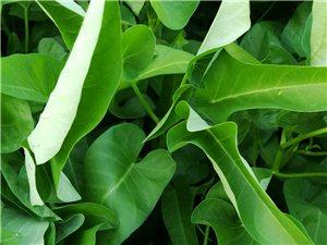 純綠色無公害新鮮空心菜歡迎訂購批發