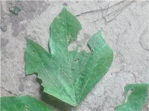 这个植物学名叫什么
