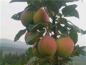 出售八月紅梨