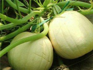 出售自己家種植的金絲絞瓜