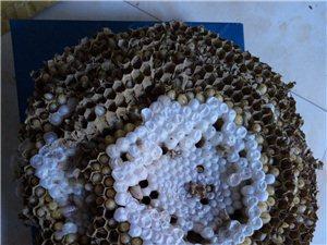 出售野生蜂蛹《葫蘆包》,純正山野蜂蜜j
