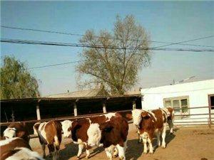 出售品種肉牛,大小都有