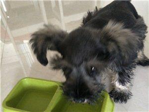 出售可愛的雪瑞納小狗狗