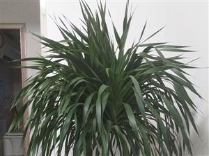 绿叶类植物