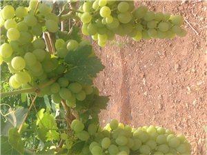 香甜可口的葡萄熟了。希望大家來采摘