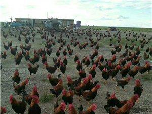 大量农家散养大公鸡出售,