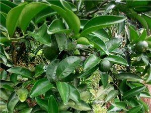 中藥材枳殼,枳實苗木培育出售基地