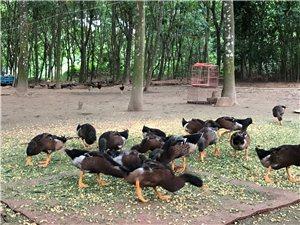 农家小种鸭出售