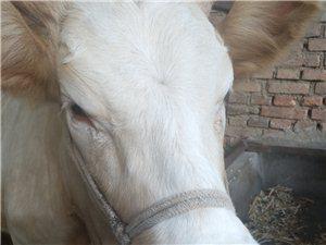 賣牛,牦牛乳牛