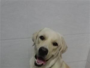 出售成年拉布拉多犬(公狗)