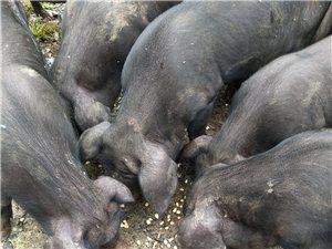 限量预售黑土猪