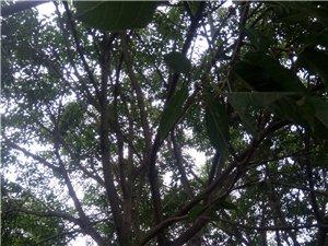 自家栽种的绿化树低价出售
