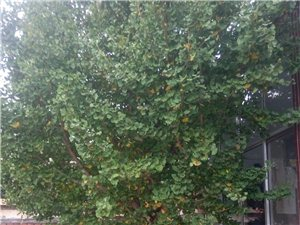 出售20多年银杏树一棵