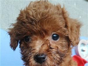 泰迪小狗狗