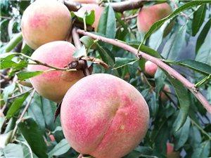 映霜红蜜桃出售