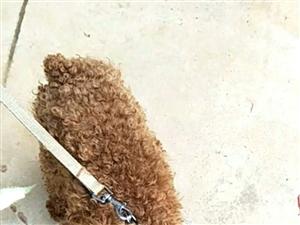 泰迪犬喜欢的拿点诚意出来带走