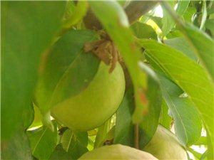 自家种的桃子