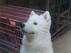 萨摩耶纯种犬