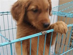 威尼斯人网上娱乐首页宠物世家澳门威尼斯人在线娱乐自繁殖各种国内外名犬!