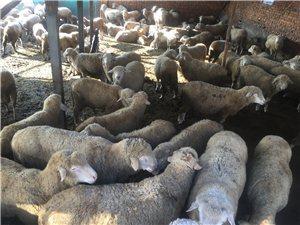桦南出售自己家纯绵羊170只有意者联系