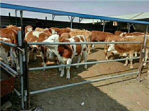 出售大小肉牛犊、育肥牛