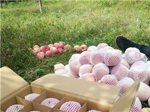 自家种植苹果纯天然无公害