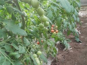 圣女果,樱桃西红柿,水果味西红柿