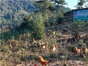 农家散养土鸡