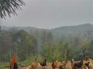 长阳都镇湾来子家的林下散养土鸡