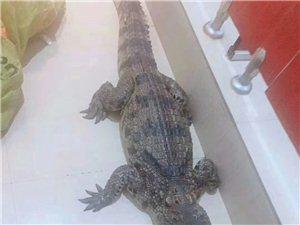 鳄鱼美食系列