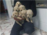 自家繁殖金毛幼犬600一只