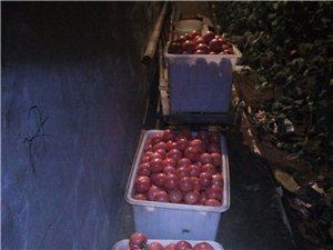大棚西紅柿采摘