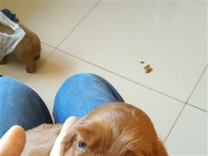 极特别的一些滋生纯种北京可卡犬