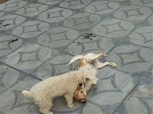 狗狗丢失好心人留意下感谢