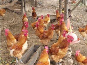 鸡峰山土鸡,纯粮食喂养,真正的散养土鸡
