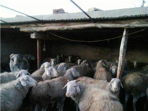 出售寒羊30多只