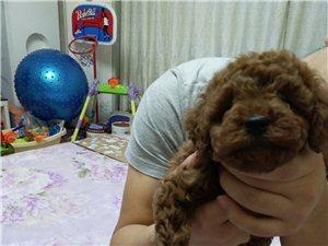 2个月的泰迪狗狗!