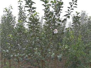 紅富士蘋果樹苗批發
