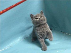 出售精品英短蓝猫