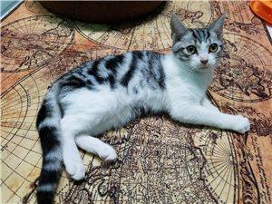 出售精品美短虎斑蓝猫加菲猫等