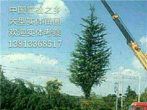 雪松1一15米,红白紫广玉兰大量出售