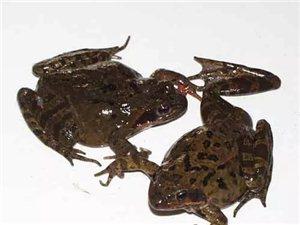桦南出售林蛙,母子