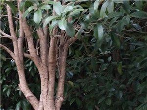 成年桂花树出售